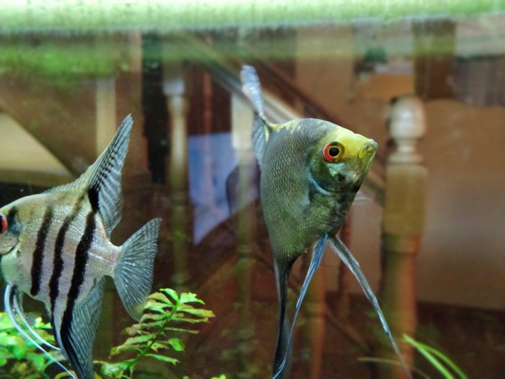 peces tropicales
