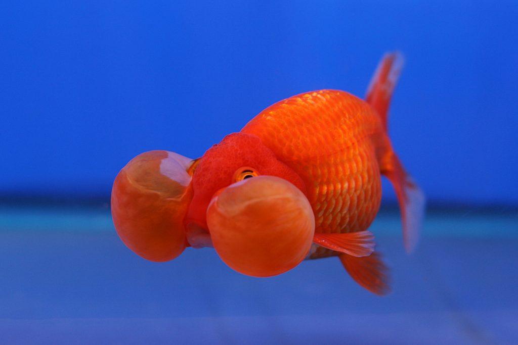 pez ojos de burbuja