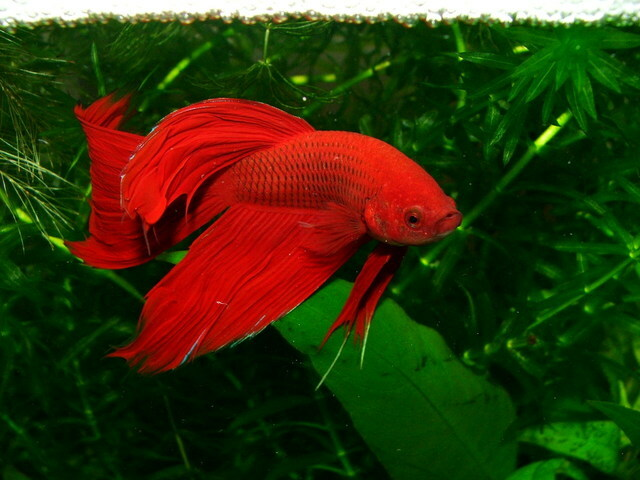 Pez Betta Splendens