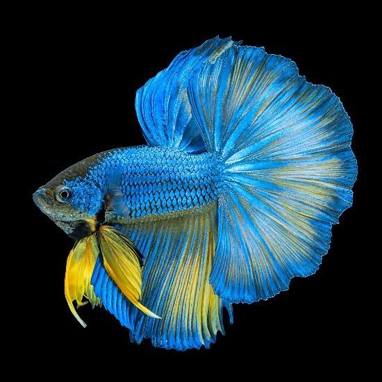 peces asiáticos