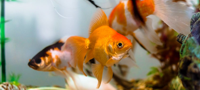 goldfish pez dorado