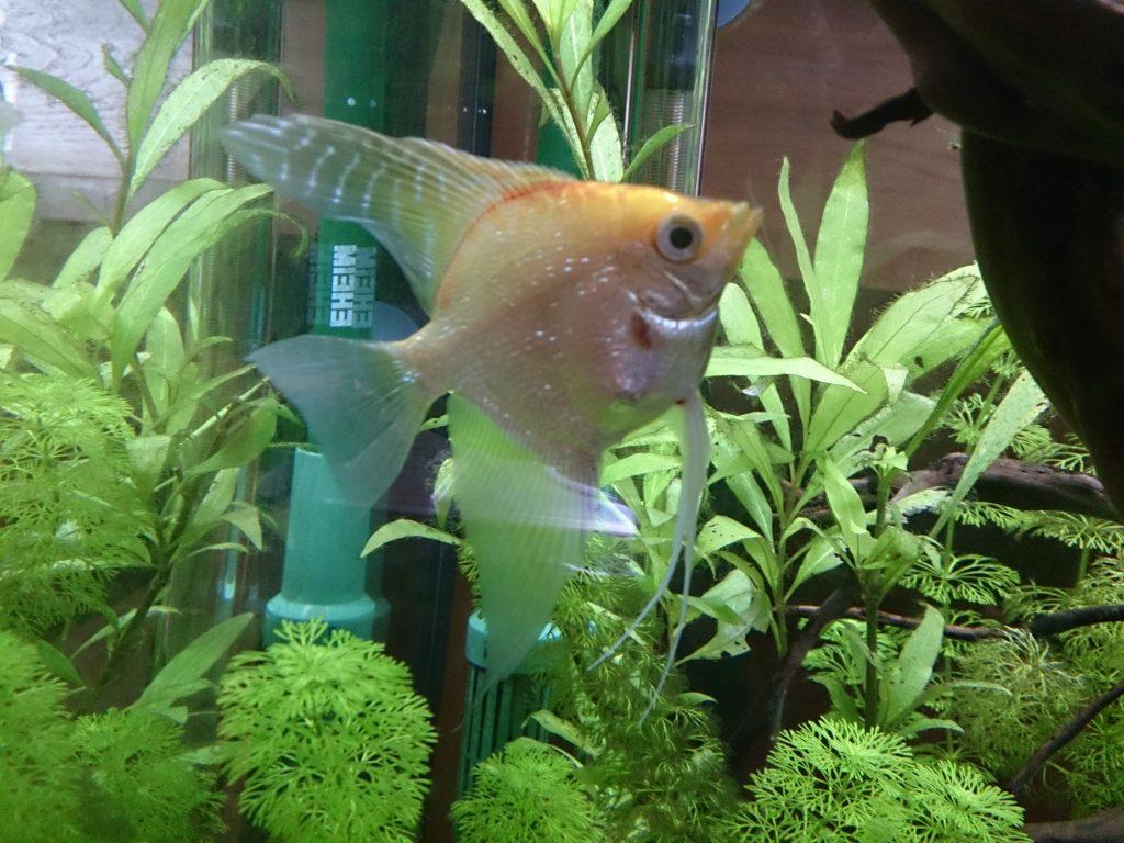 pez escalar