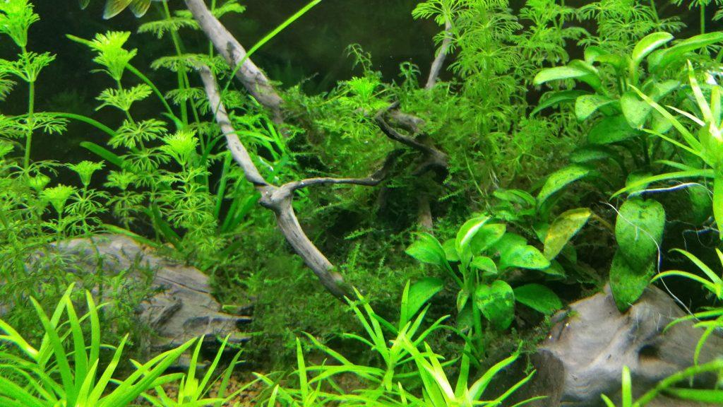 plantas de acuario musgo de java