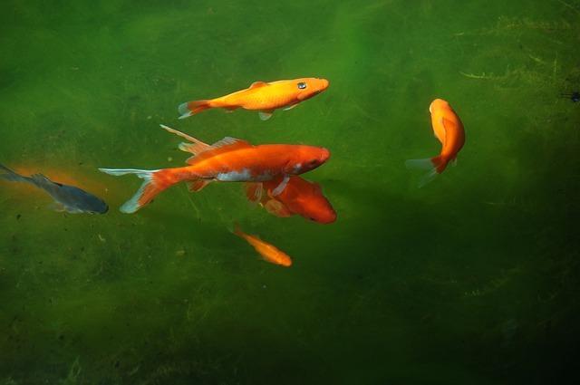 peces agua fria